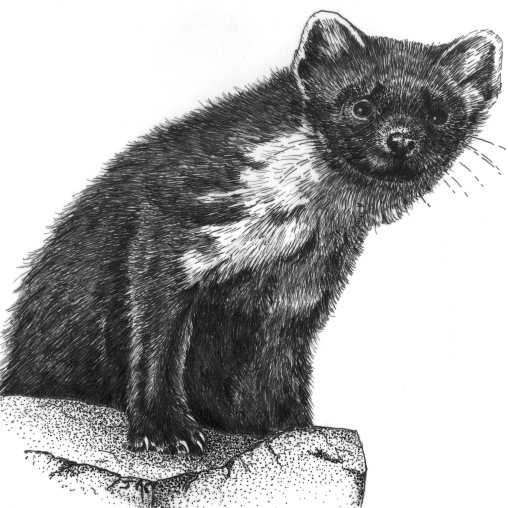 Pine marten bw drawing001